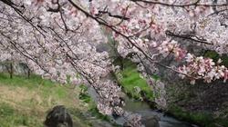 Sakura / The song of the Cherry Blossom