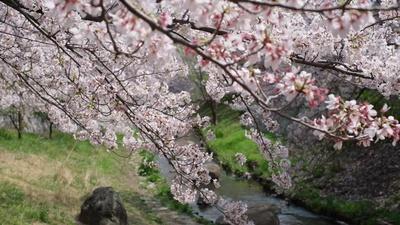 Sakura / The song of the Cherry Blossomのジャケット写真